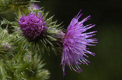 Welted Thistle Royalty Free Stock Images
