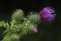 Welted Thistle Stock Photo