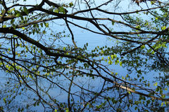 Welter of branches and their reflections Royalty Free Stock Photos