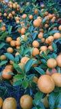 Welvaartsinaasappelen royalty-vrije stock foto