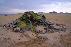 Welwitschia Royalty Free Stock Image