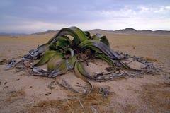 welwitschia Royaltyfri Bild