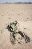 Welwitschia Stock Image
