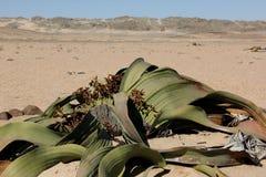 Welwitschia Arkivbild