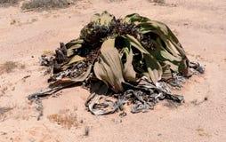 Welwitschia Lizenzfreies Stockbild