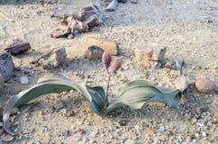 Welwitschia Fotografia de Stock