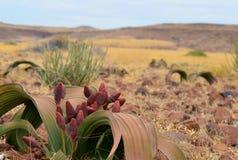 Welwitschia de la planta Foto de archivo