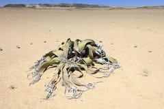Welwitschia in der Wüste lizenzfreie stockfotos