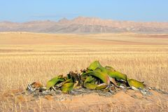 Welwitschia, desierto de Namib Imagen de archivo libre de regalías