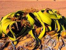 Welwitschia Mirabilis lizenzfreies stockbild