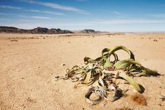 Welwitschia Mirabilis Stock Photos