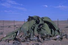 Welwitschia Mirabilis στοκ εικόνες με δικαίωμα ελεύθερης χρήσης