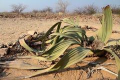 Welwitschia Mirabilis stockfotos