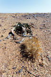 Welwitschia mirabilis, Amazing desert plant, living fossil Stock Photography