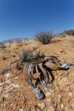 Welwitschia mirabilis, Amazing desert plant, living fossil Royalty Free Stock Photos