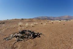 Welwitschia mirabilis, Amazing desert plant, living fossil Royalty Free Stock Image