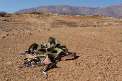 Welwitschia mirabilis, Amazing desert plant, living fossil Stock Photos
