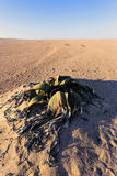Welwitschia mirabilis, Amazing desert plant, living fossil Royalty Free Stock Photo