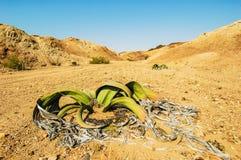 Welwitschia (mirabilis de Welwitschia), Namibie images stock