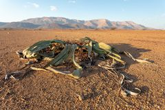 Welwitschia mirabilis desert plant, Namibia. Welwitschia mirabilis prehistoric plant, Brandberg mountain Erongo, Namibia, Amazing desert plant, living fossil in royalty free stock images