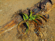 Welwitschia mirabilis Stock Image