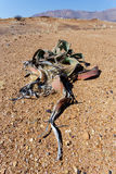 Welwitschia Mirabilis, erstaunliche Wüstenpflanze, lebendes Fossil Lizenzfreies Stockfoto