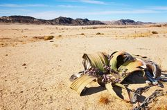 Welwitschia Mirabilis in Namib Desert Royalty Free Stock Images
