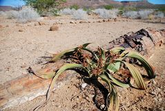 Welwitschia mirabilis. Petrified forest, Damaralan. Welwitschia mirabilis is endemic to the Namib desert within Namibia and Angola. Damaraland was a name given Stock Photography