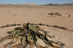 Welwitschia Stock Images