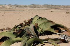 Welwitschia Stock Photography