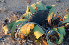 Welwitschia Mirabilis plant growing in the hot arid Namib Desert of Angola and Namibia Stock Photography