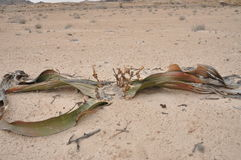Welwitschia mirabilis plant living fossile namibian dessert Stock Images