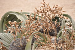 Welwitschia mirabilis plant living fossile namibian dessert. Welwitschia mirabilis in the Namib Desert of southwestern Africa. The two strap-shaped leaves have Royalty Free Stock Photography