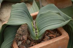Welwitschia mirabilis plant Stock Photography