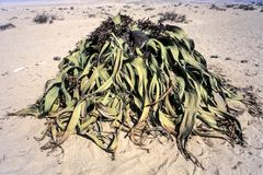 Welwitschia mirabilis. The welwitschia mirabilis, one of the most long-lived plants in the world, namib naukluft park, erongo, namibia, africa Royalty Free Stock Photography