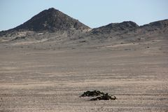 Welwitschia plains Royalty Free Stock Images