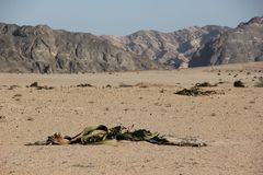 Welwitschia plains Royalty Free Stock Photo