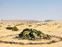 Welwitschia plant Stock Photography