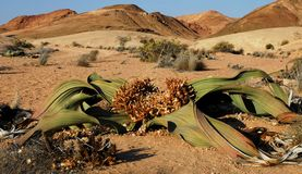 Welwitschia Plant (Welwitschia mirabilis) Stock Photography