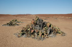 Welwitschia Plants, Namibia Royalty Free Stock Images