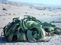 Welwitschia plants in Namibia Royalty Free Stock Image