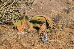 Welwitschia Welwitschia Mirabilis lizenzfreie stockfotografie