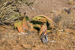 Welwitschia Welwitschia mirabilis. Welwitschia tree Welwitschia mirabilis, Namibia Royalty Free Stock Photography