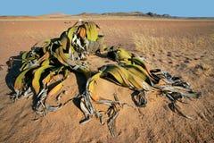 Welwitschia, woestijn Namib Stock Foto