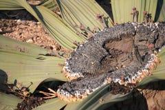 Welwitschiainstallatie Stock Foto's
