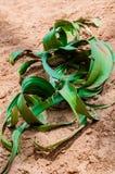 WelwitschiaMirabilis Arkivbild