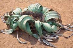 Welwitschiamirabilis bloeien op geel zand van Namib-woestijn hoogste mening als achtergrond dicht omhooggaand, Zuid-Afrika royalty-vrije stock afbeeldingen