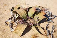 WelwitschiaMirabilis in der Namibischen Wüste Lizenzfreies Stockfoto