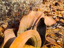 WelwitschiaMirabilis in der Namibischen Wüste Stockfotografie