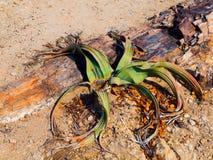 WelwitschiaMirabilis in der Namibischen Wüste Stockbild